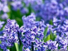 Hyacinth. Source: wallpaperzone.biz