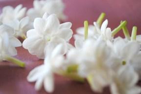 Jasmine Sambac. Source: flowallp.com