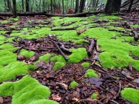 """""""Cushion Moss on Wet Forest Floor"""" by DragonflyHunter on Flickr. (Website link embedded within.)"""