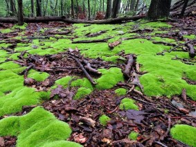 """Cushion Moss on Wet Forest Floor"" by DragonflyHunter on Flickr. (Website link embedded within.)"
