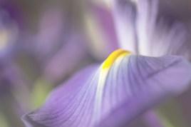 Iris Pallida. Photo: Mariola Szeliga via http://www.pixographia.com/photography/