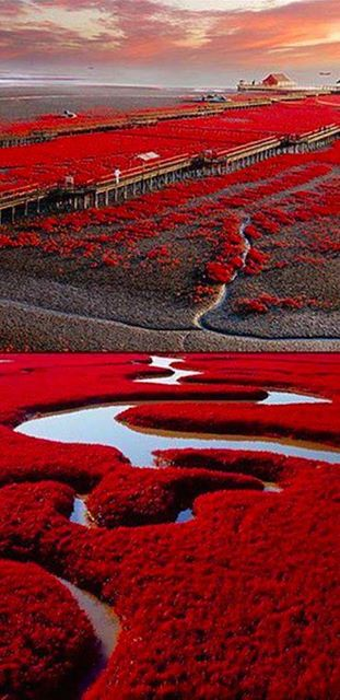 """Red beach in Panjin, China on the marshlands of the Liaohe River delta."" Source: ""Amazing Landscapes, Nature, Animals and Places."" Facebook page."