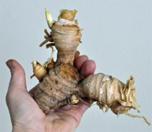 Iris root. Source: gardenatoz.com