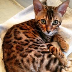 The latest addition to the Moores household, Mimi, a Bengal kitten. Source: Liz Moores.