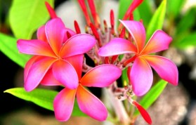 Pink plumeria via nature.desktopnexus.com