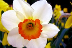 "Narcissus or ""paperwhites"" against a backdrop of daffodils. Source: flowerhomes.blogspot.com"