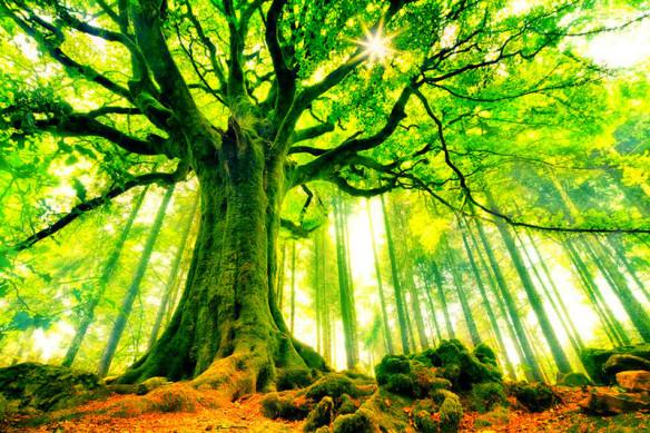 """Ponthus beech, Broceliande forest"" by Philippe Manguin. Source: hdwallpapersin.com"