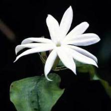 Egyptian jasmine. Photo source: AbdesSalaam profumo.it