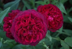 Rosa Damascena. Photo via Pinterest, possibly taken by David Austen.
