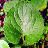 Violet leaf. Source: healthyhomegardening.com