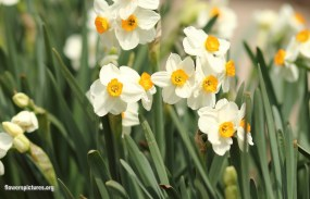 Narcissus via flowerspictures.org