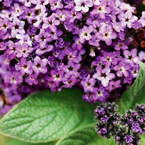 Heliotrope via Pinterest.