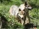 Deux loups européens en semi-liberté dans le parc des Angles (Pyrénées-orientales), le 18 juin 2015