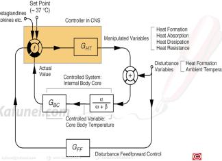 Représentation de la thermorégulation chez les mammifères