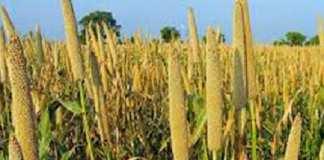 Plus de 235 000 tonnes de céréales produites à Fatick en 2018 (DAPSA)