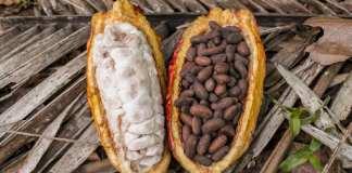 Le Ghana et la Côte d'Ivoire représentent plus de 60% de la production mondiale de cacao. © Getty Images