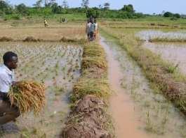 Champ de riz à Agboville, dans le sud de la Côte d'Ivoire.