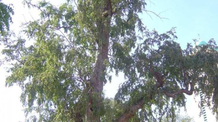 Anogeissus-leiocarpus