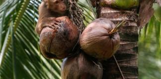 Scandale des singes forcés à ramasser des noix de coco en Thaïlande