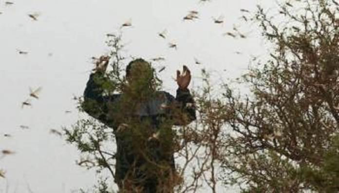 Une campagne de riposte à l'invasion de criquets pèlerins élaborée (FAO)