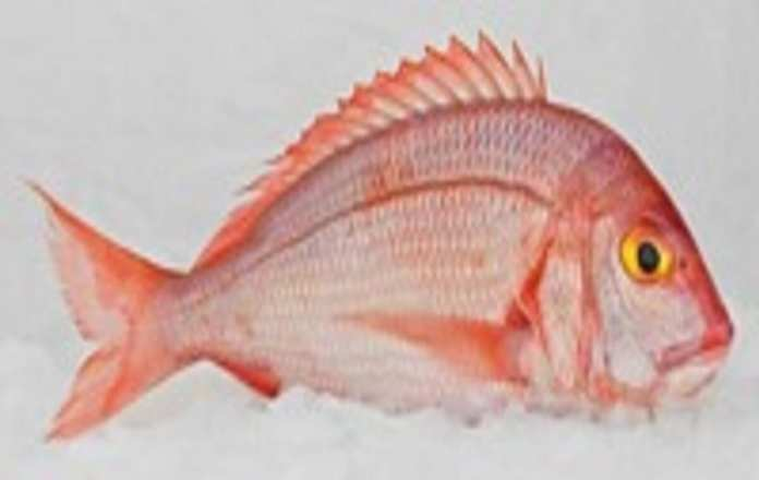 dentex-angolensis