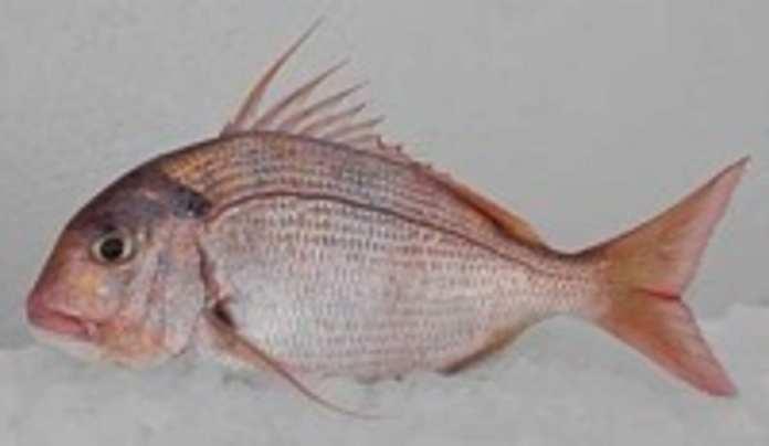 pagrus-caeruleostictus