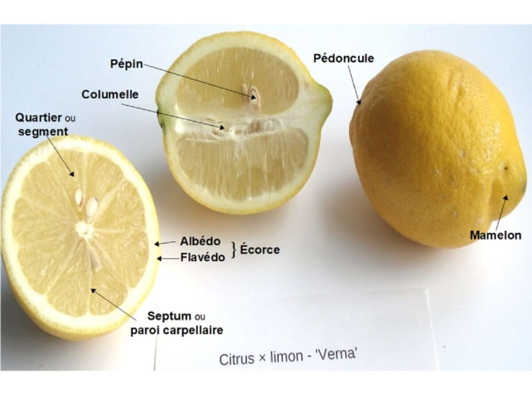 Parties du citron - kafunel.com - description