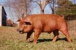 デュロックとは米産の赤い豚!