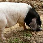 金華豚とは