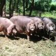 梅山豚とは