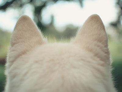 【犬の耳血腫】突然耳が腫れた。獣医師が解説します。