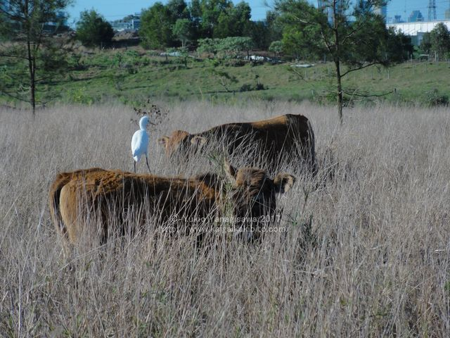 牛の上の鳥