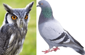 owl and pigeon