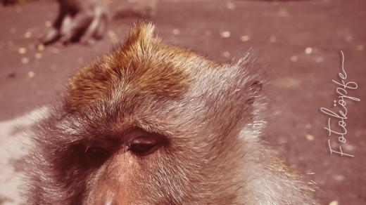 Gemütlicher Affe auf Bali