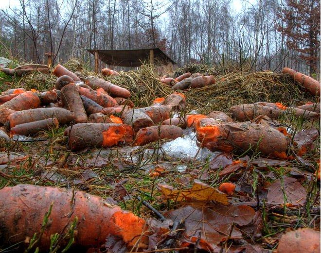 Oranga morötter i skogen