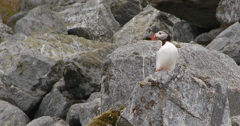 Lunnefågel, på riktigt :)
