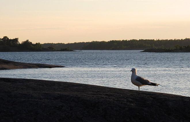 Sällskapssjuk mås på norrsidan av Östra Örholmen