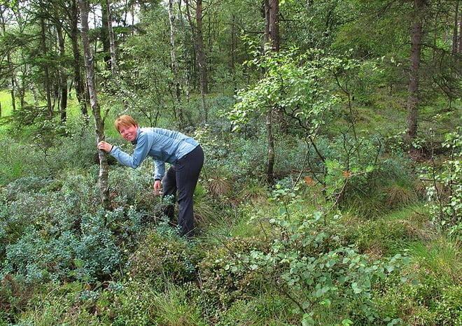 Pia letar efter gömman. Och gott om blåbär är det också!
