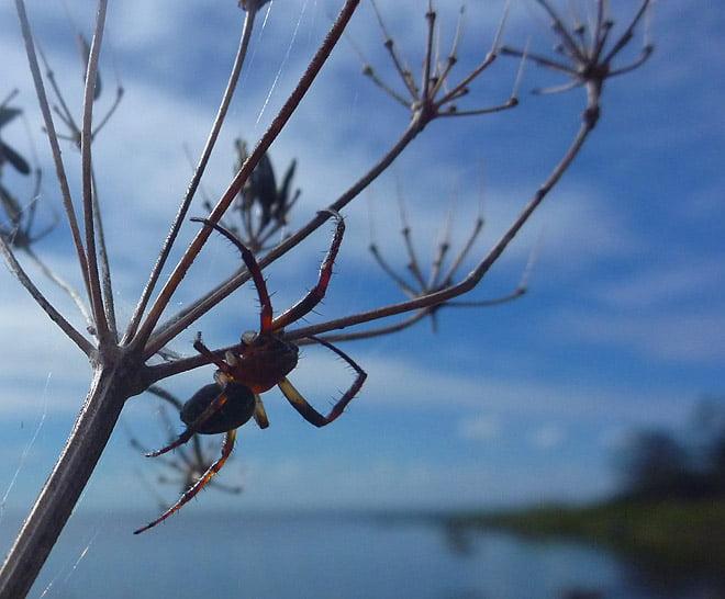 Spindel på Furö