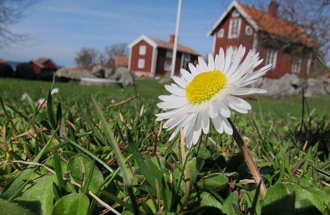 Även tusenskönorna blommar på Örö