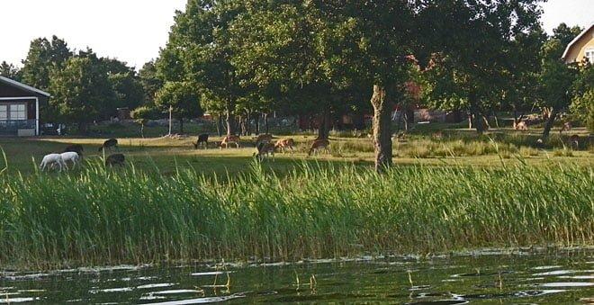 Massvis av hjortar på Hunö