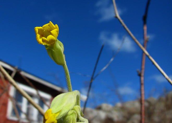 Årets första Gullviva, snart är nästan hela Valö gult igen!