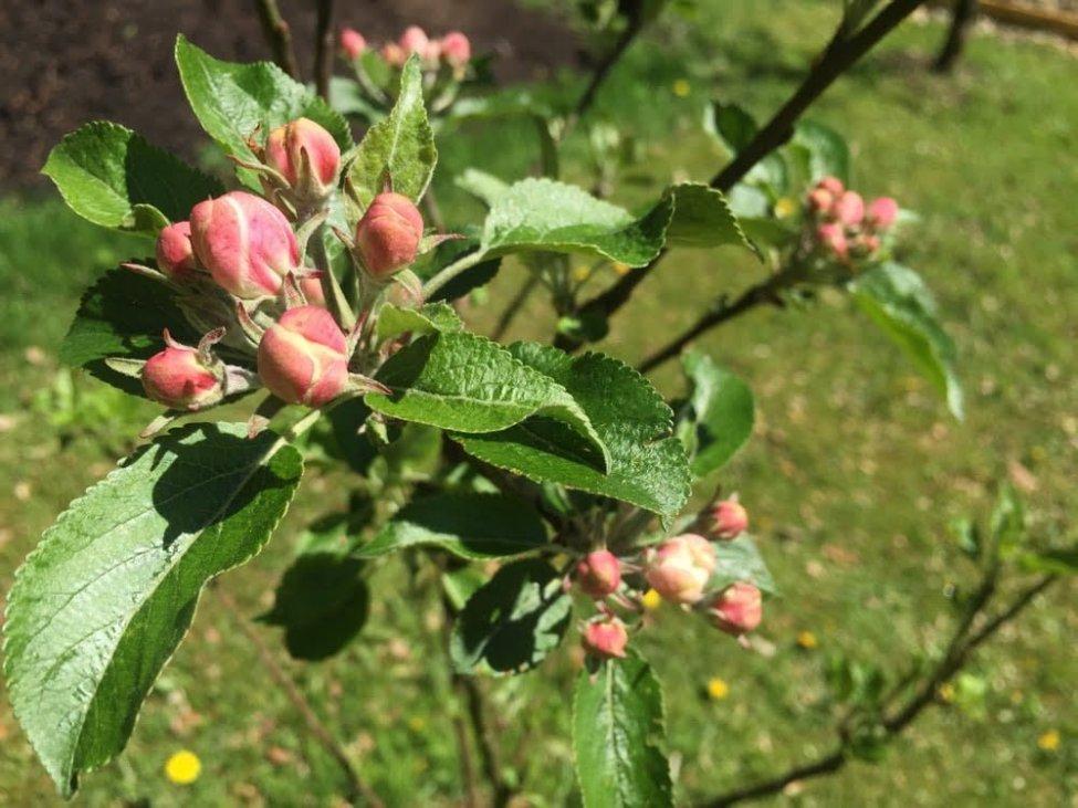 Snart dags för bina att ge sig på äppelblommorna