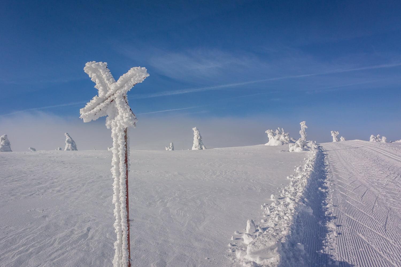 Ledkryss, snötyngda granar och blåhimmel
