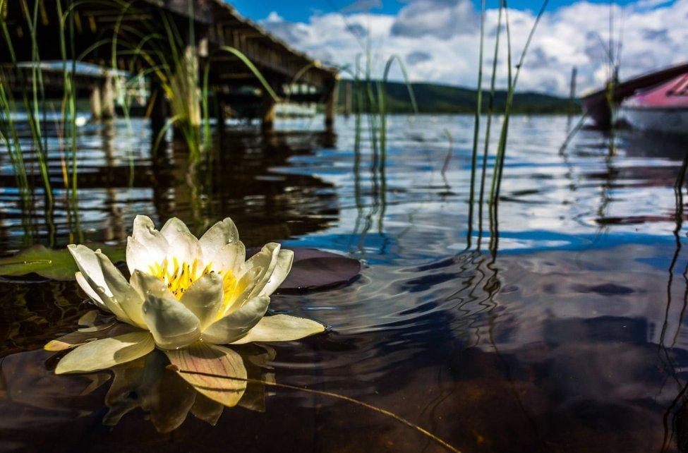 Sjön blommar här och där, finfint