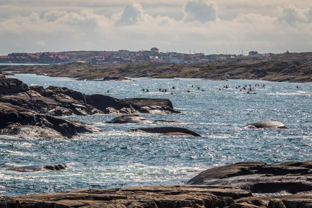 En stor grupp med Havets kackelackor på väg mot Vallerö