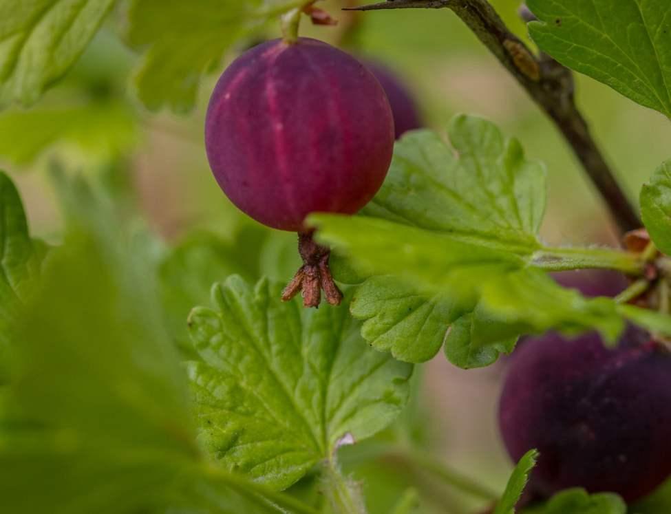 Krusbär - våra buskar börjar ge frukt