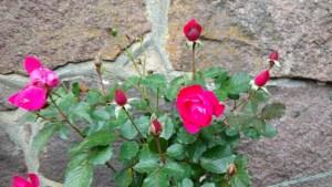 Rosorna har inte slutat blomma än