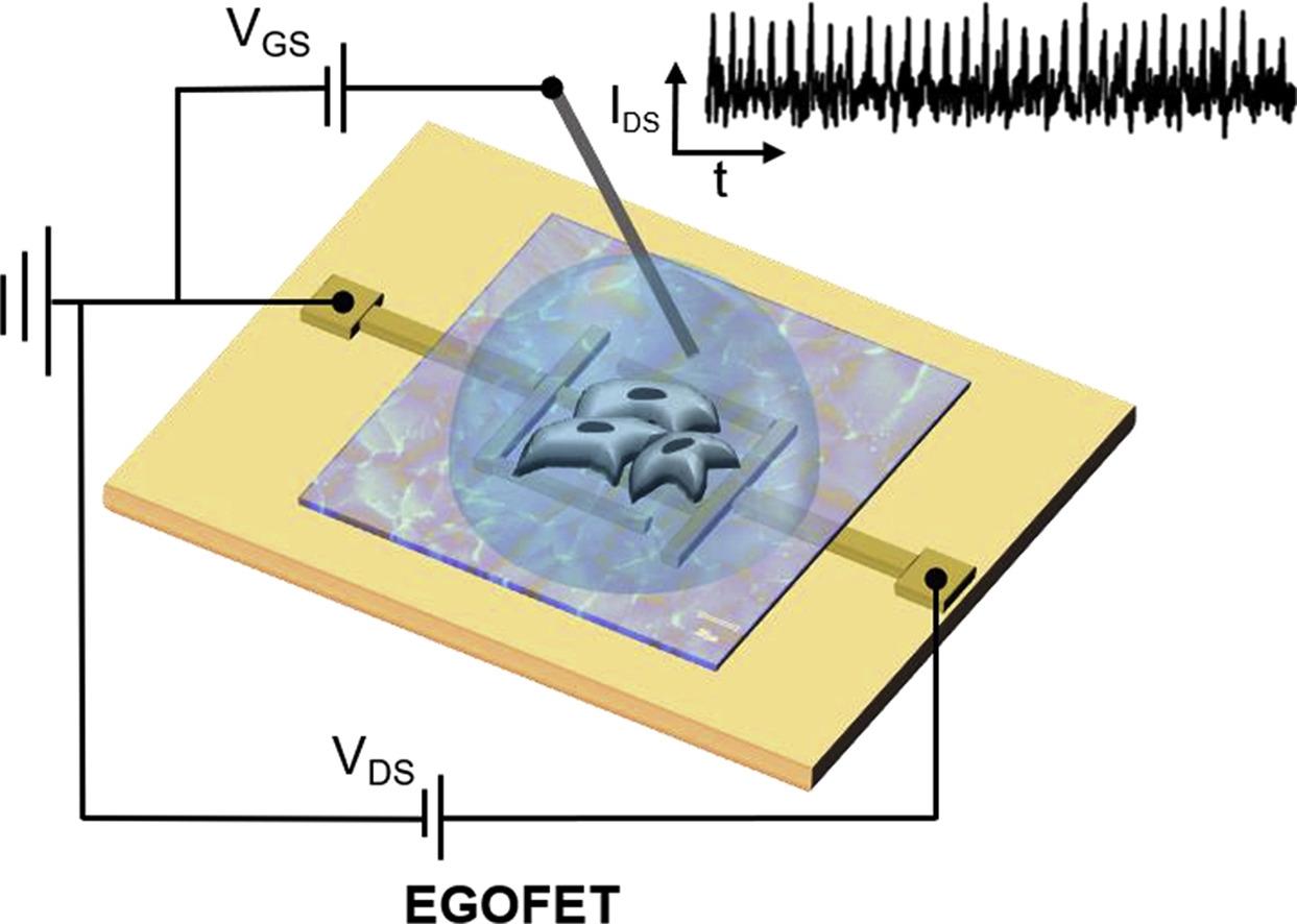 Създадени са гъвкави и чувствителни биотранзистори
