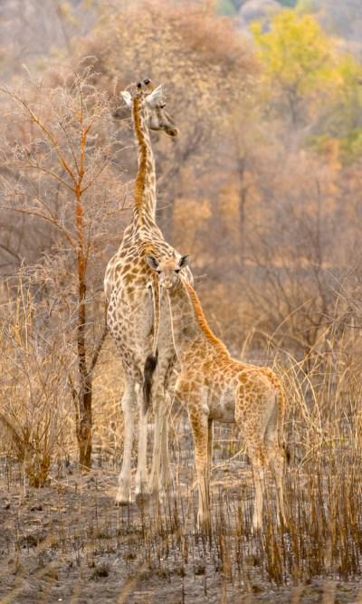 Adult & baby giraffe - Matopos, Zimbabwe